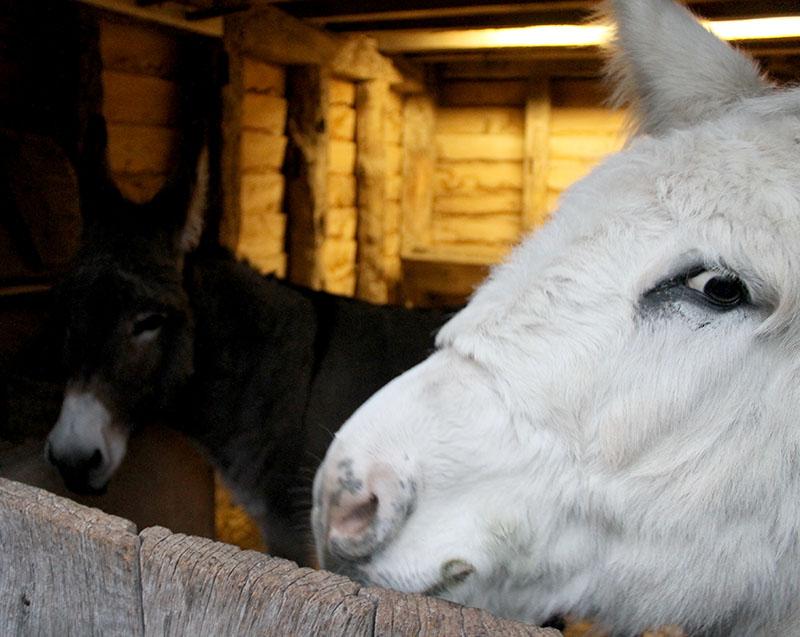 christmas donkey singleton