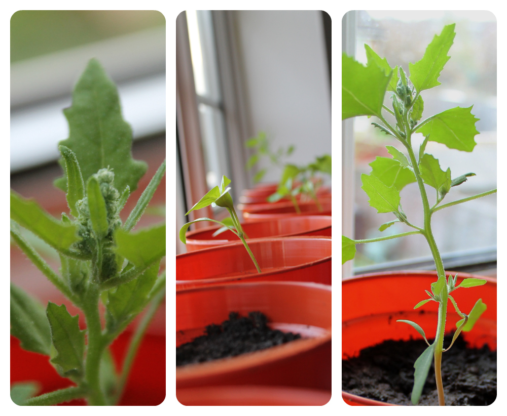 chilli plants growing from seed