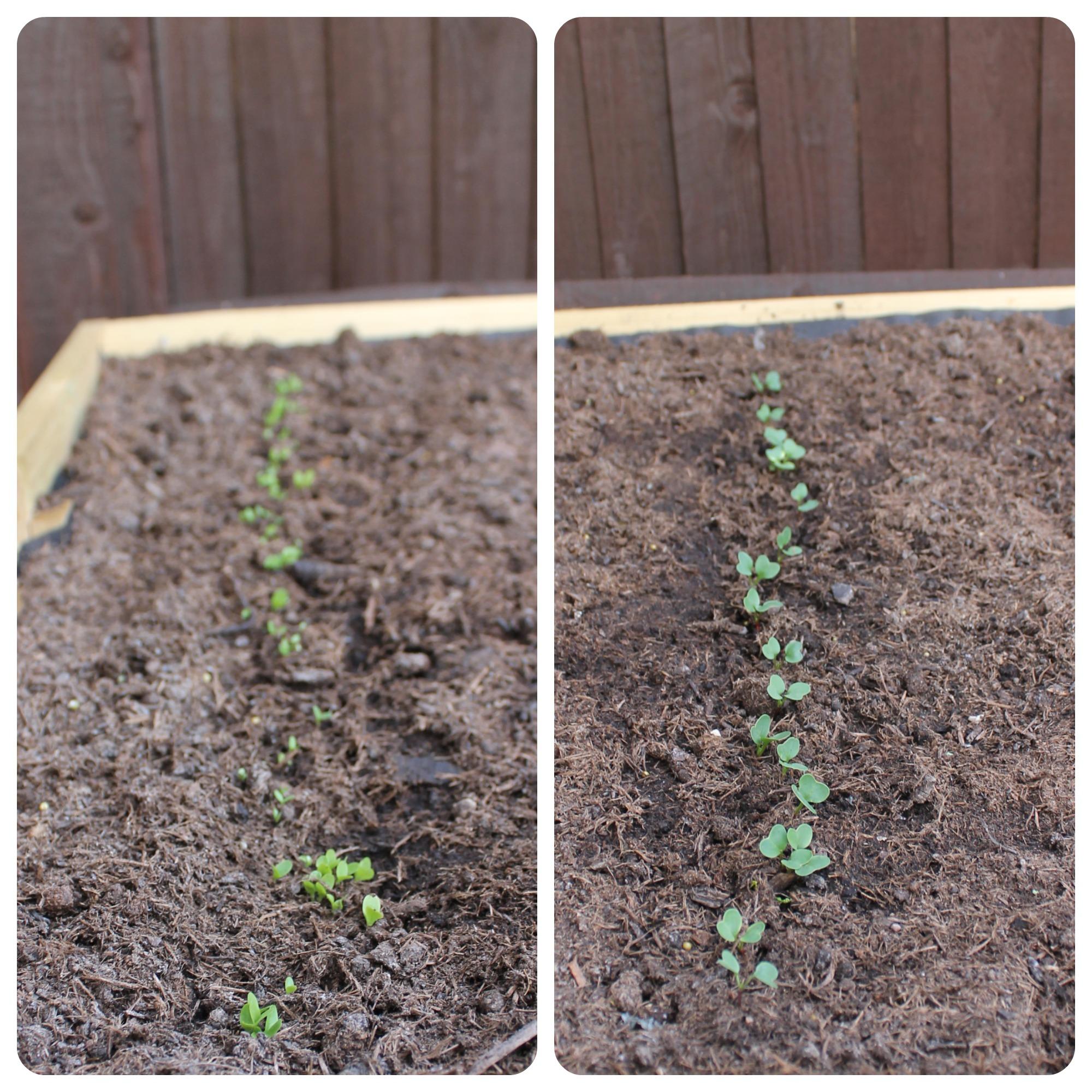 Lettuce & Radish.jpg